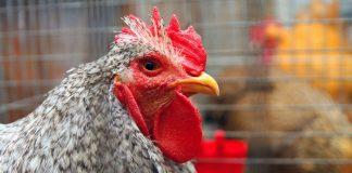 Молдова запретила ввоз украинской курятины