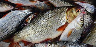 Незаконная добыча рыбы – Рыбница