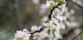 В Приднестровье из-за заморозков пострадали фруктовые сады