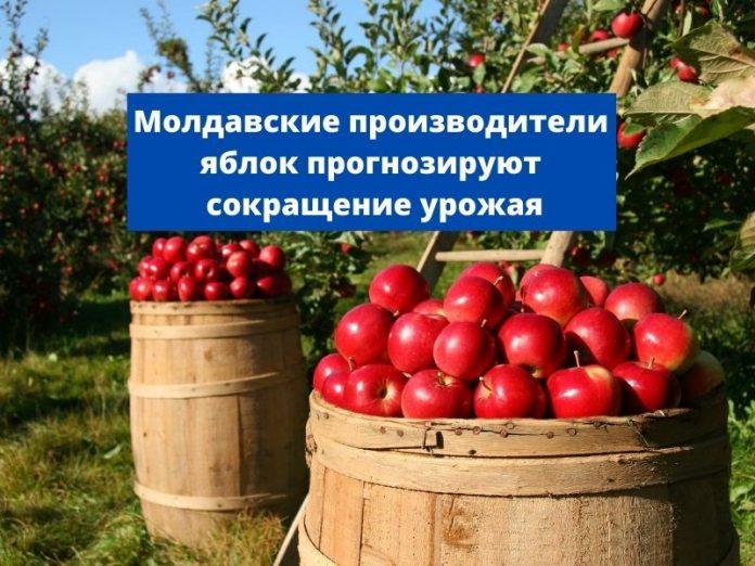 Молдавские производители яблок прогнозируют сокращение урожая