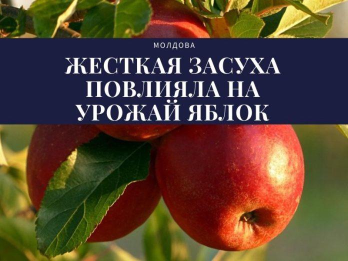 жесткая засуха повлияла на урожай яблок