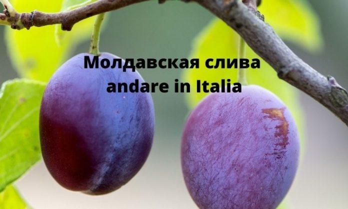 Молдавская слива in Italia