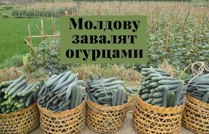 Молдову завалят огурцами