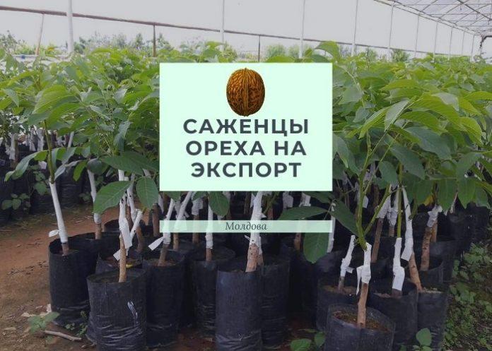 Саженцы ореха на экспорт