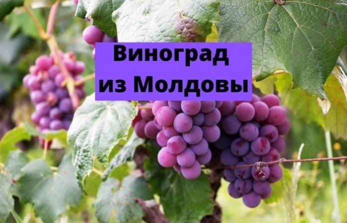 Виноград из Молдовы
